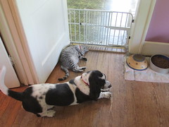 Bring It On, Dawg! (frank kendrick) Tags: cat indoor basset