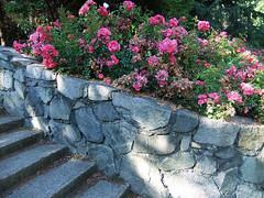 By the Steps - Minoru Park (FernShade) Tags: britishcolumbia richmondbc richmond minorupark roses landscaping park scenery scenic urbannature
