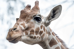 WorldGiraffeday 2017 (Angelbattle bros) Tags: portrait nature animal cute head looking nose zoo wildlife horn neck wild giraffe safari mammal herbivore lookingdown stoppoaching worldgiraffeday hugagiraffe