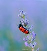 En la Lavanda.... (ℝakel_ℰlke ﴾͡๏̯͡๏﴿) Tags: mariquita tipoartrópodo claseinsectos ordencoleópteros familiacoccinélidos insecto lavander rakel raquel elke rakelelke raquelelke rakelmurcia regióndemurcia murcianorte españa spain espagne europa europe nikon nikond300s d300s nikkor18–200 objetivo18200mm flower fleur fiore blumen кветка květina cvjetni kvetina floro lill lore kukka blodau λουλούδι פרח फूल paj bloem virág bunga blóm フラワー zieds žiedas цвет kwiat floare цветок blomma çiçek квітка hoa campodesanjuan moratalla larisca lavanda