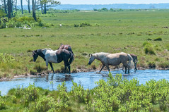 07082017-233-1 (bjf41) Tags: chincoteague horses wild herd colts