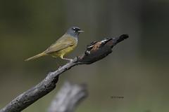 MacGillivray's Warbler (featherweight2009) Tags: macgillivrayswarbler oporornistolmiei warblers songbirds birds