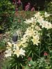 Asian Lilies (alasam) Tags: lilies buddha mygarden citrit