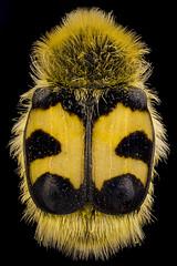 Bee Beetle (Trichius fasciatus) (bayramkus) Tags: macro makro macrophotography makrofotoğrafçılık micro microscope lomo37x extrememacro focusstacking highmagnification odakistifleme yüksekbüyütme closeup yakınçekim beebeetle trichiusfasciatus coleoptera kınkanatlı kınkanatlılar biology biyoloji entomoloji entomology böcek böcekbilim böcekler insect insects bugs doğa nature hayvan hayvanlaralemi animalplanet animals animalia