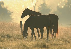 grazers in silhouette (don.white55 plunging headlong.) Tags: grazing horses backlight morninglight mist dew fence tallgrass canon canoneos70d tamronsp150600mmf563divcusda011 canoneos70dtamronsp150600mmf563divcusda011 pasture silhouette goldenlight pennsylvania thatswildnaturephotography