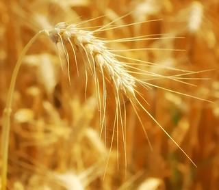 * Le spighe del grano: il sole e vita * The wheat ear: the sun and life *    ( in  Explore )   *