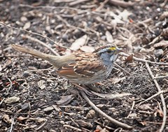 White-throated sparrow (Goggla) Tags: nyc new york east village tompkins square park urban wildlife bird white throated sparrow whitethroatedsparrow