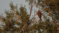 Milvus migrans (Thanks for +300.000 views) Tags: milvus migrans milà milan kite ocells aus aves birds utxesa