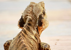 my garden body guard (4 of 4) (Daniela Parra F.) Tags: waterdragon lizardo lizards reptiles