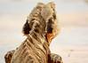 my garden body guard (4 of 4) (Daniela Parra F.) Tags: waterdragon lizardo lizards reptiles