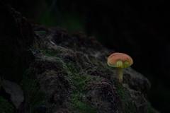 Mushroom (River-Life) Tags: riverlife nikon d5300 florida nature outdoors outdoor sixmilecypresssloughpreserve mushroom moss
