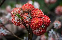 2017 - Yokohama - Hase - Hase-dera - Blooms - 9 of 11 (Ted's photos - For Me & You) Tags: japan nikon nikond750 nikonfx tedmcgrath tedsphotos vignetting yokohama 2017 cropped flowers blooms bloom flora hasedera hasederatemple bokeh blossom hasederaflowers hasejapan hasederakamakura