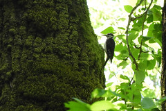 Hairy Woodpecker 6-11-17 Vancouver Lake State Park (Noble Bunny) Tags: hairy woodpecker male birds bird