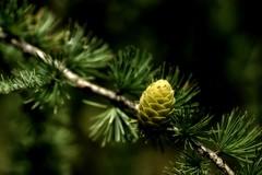 *** (pszcz9) Tags: przyroda nature natura zbliżenie closeup szyszka cone modrzew larch gałąź branch beautifulearth sony a77 bokeh