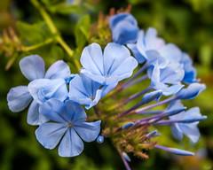Pale Blue (Karol ...) Tags: flowers bright textures nature softtones paleblue