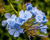 Pale Blue (Karol ...) Tags: flowers bright textures nature softtones paleblue