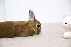Ichigo san 750 (Ichigo Miyama) Tags: いちごさん。うさぎ ichigo san rabbit うさぎ netherlanddwarfbunny netherlanddwarf brown ネザーランドドワーフ ペット いちご