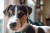 Dooley, April 2017 (marylea) Tags: apr22 2017 spring dooley parsonrussellterrier parsonrussell dog puppy prt jrt jackrussellterrier jackrussell terrier 15weeksold