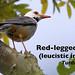 Leucistic Red-legged Thrush, Turdus plumbeus