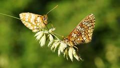 Tête à tête - in explore 09/06/2017 (passionpapillon) Tags: macro insecte papillon butterfly mariposa farfalla mélampyre du mélitée athalia mellicta passionpapillon 2017