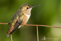 097A4209_edit_resized_wm (Lisa Snow Photography) Tags: rufous hummingbird