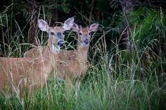 Aware of my Presence (57rroberts) Tags: capehenlopen deer delaware morning whitetaileddeer