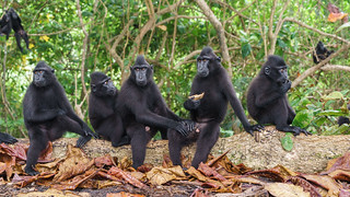 Juvenile Celebes Crested Macaques
