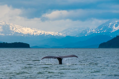 Diving (jameshouse473) Tags: channel favorite alaska auke bay harbor juneau humpback whale lincoln island