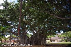 Banyan Tree 2 (venusnep) Tags: hawaii banyantree banyan tree waikiki may 2017 nikond610 nikon d610