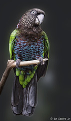 RED-FAN PARROT (DeCastroJr) Tags: fan foot parrot red amazon bird ornithology parrots animal nature new aviary wildlife close macro cute hawk mammal headed pet wild birds rainforest face world feathers