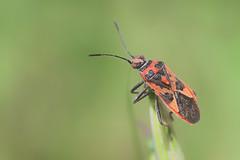 Pop Eyes (Luis-Gaspar) Tags: animal insect insecto percevejo bug cinnamonbug corizushyoscyami hemiptera heteroptera rhopalidae portugal oeiras pacodearcos nikon d60 18105 f56 1640 iso400