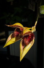 Bulbophyllum Pingtungensis (glomacphotos) Tags: bulbophyllum pingtungensis orchid