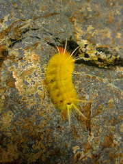 Gusano amarillo (Jennifer - Torres) Tags: gusano amarillo yellow macro closeup piedra worm
