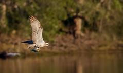osprey (Pandion haliaetus)-3979 (rawshorty) Tags: rawshorty birds australia nsw portmacquarie