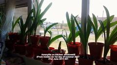 Amaryllis on kitchen  windowsill (From inside) on 1st day of summer 2017  21st June 2017 001 (D@viD_2.011) Tags: amaryllis kitchen windowsill from inside 1st day summer 2017 21st june