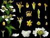 Caprifoliaceae Viburnum plicatum var. formosanum (taiwanicus) Tags: 兩性花 bisexual flower 柱頭 stigma 子房 ovary 雌蕊 pistil 雄蕊 stamen