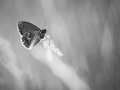 Argus suite (steph20_2) Tags: panasonic gh3 lumix m43 52bb macro closeup proxy papillon butterfly monochrome monochrom noir noiretblanc ngc blanc black bw white skanchelli