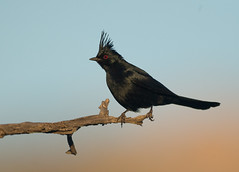 Phainopepla (Corey Hayes) Tags: phainopepla songbird desert arizona nature sunset
