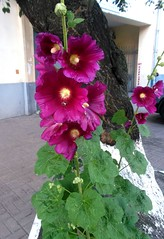 Purple mallow (ruta / рута) Tags: flower mallow purple urbannature summer