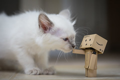 Ylva Meets Danbo (JeffMoreau) Tags: ylva balinese kitten cat kitty danbo cute sony a7ii 90mm macro bokeh bokehlicious