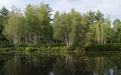 birch reflections (jtr27) Tags: sdq2540fxe jtr27 sigma sd quattro sdq foveon 30mm f14 dc hsm art sigmaart birch trees pond reflection maine newengland landscape