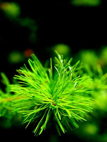 Nadelgrün