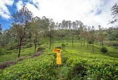 At the Tea Field (Kostas Trovas) Tags: wideangle portrait teaplantation landscape asia nature srilanka canon tea nuwaraeliya beautiful travel woman umbrella outdoors green teafields composition minimalist