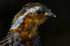 The Beauty Of The Feathers - 一枚一枚の羽 (hixar) Tags: japan uenozoo tokyo 日本 上野動物園 東京 鳥 bird 瞳 目 eye feather 羽 animal 動物