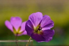 Purpleologist... (Maria Godfrida) Tags: nature plants flowers purple flora two pair couple closeup colors colours vibrant 7dwf tamron green backlight backlit