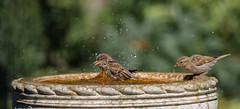 Top bombing (Stu thatcher) Tags: bird uk water bath fast shutter speed birds wet splash britain england english worcester worcestershire