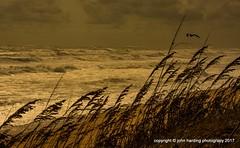 An Untrustwory Wind. (T i s d a l e) Tags: tisdale anuntrustworthywind storm coast beach atlanticocean seaoats gull duck outerbanks northcarolina summer sept 2016 easternnc
