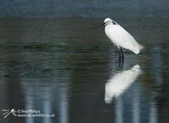 Little egret in West Looe River-12 (Neil Phillips) Tags: ardeidae aves egrettagarzetta littleegret neoaves pelecaniformes bird footed heron longlegs longneck yellow