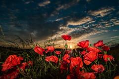 Poppy Sunset (ianbonnell) Tags: poppies poppy rainford merseyside sthelens england sunset
