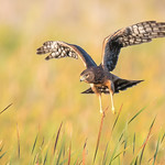 Northern Harrier - Juvenile (X75_0802-1) thumbnail